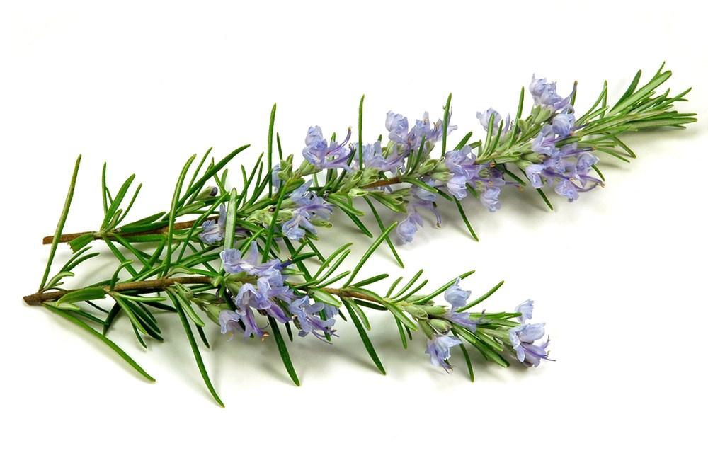 Hương Thảo - Rosemary