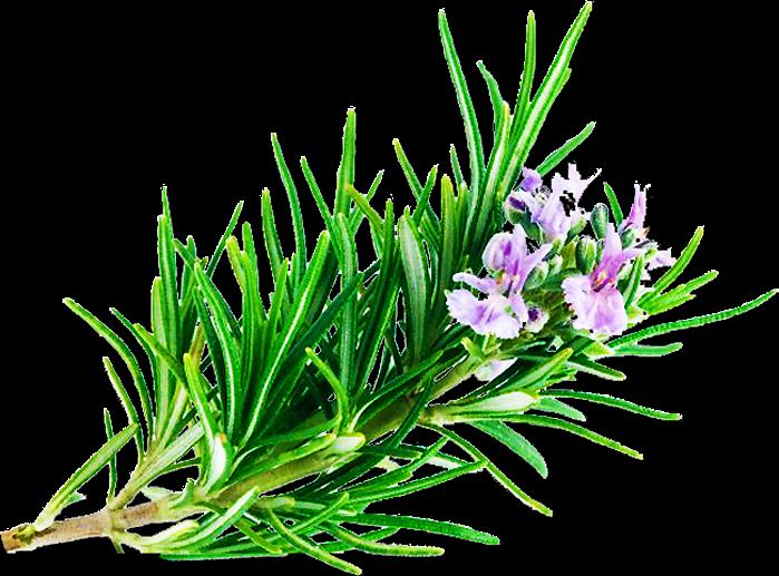 Hương thảo rosemary